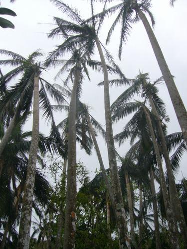 米原のヤシ原生林