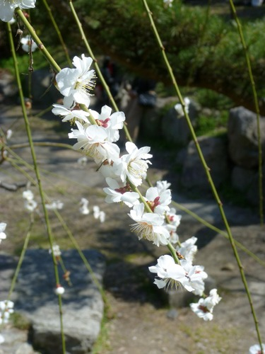 梅の花  【白滝枝垂れ(しらたきしだれ) 】