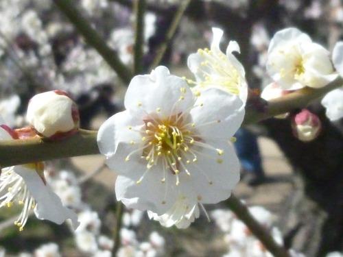 梅の花  【白加賀(しらかが)】